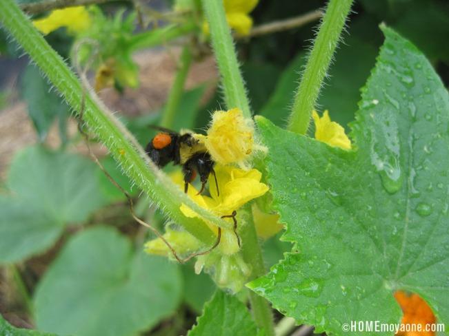 HOMEmoyaone_honeybee