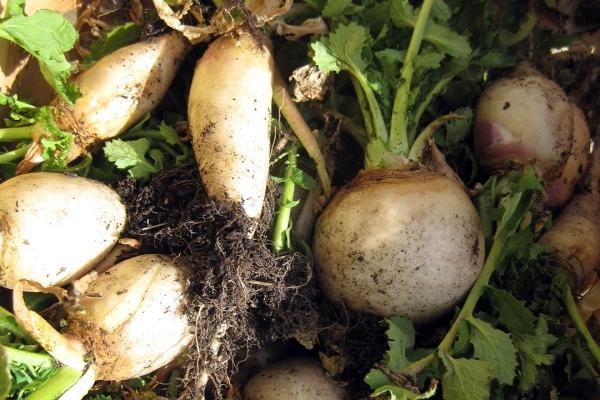 homemoyaone_snowball-turnips_feat