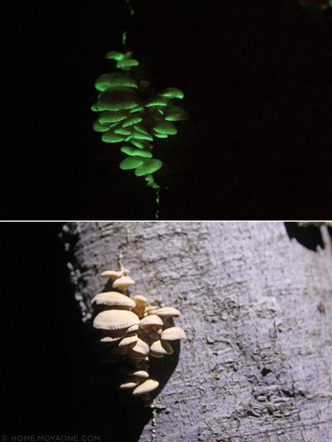 homemoyaone_bioluminescent-mushrooms2